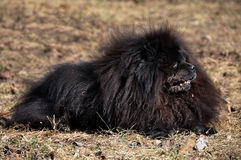 Black Chow Chow dog Stock Image