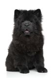 Black Chow chow puppy Royalty Free Stock Photo