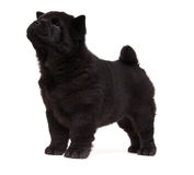 Black chow-chow puppy Stock Images