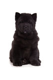 Black chow-chow puppy Stock Photo