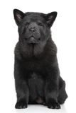 Black Chow chow puppy on white background Stock Image