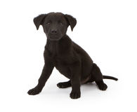 Black chow mix puppy Stock Photo