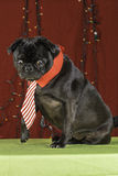 Black Christmas Pug Holiday Scene. Royalty Free Stock Image