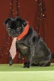 Black Christmas Pug Holiday Scene. Royalty Free Stock Image