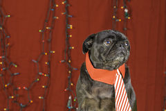 Black Christmas Pug Holiday Scene. Royalty Free Stock Photography