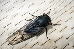 Black Cicada. Black Prince Cicada resting on timber background Royalty Free Stock Photos