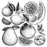 Vintage Ink hand drawn collection of citrus fruits. Vector drawings isolated on white background. Sketched illustration of highly. Detailed exotic plants royalty free illustration