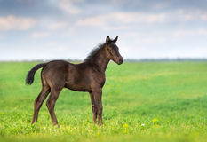 Black clot stand. Black foal exterior on flower meadow Royalty Free Stock Photo