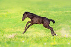 Black clot stand. Black foal exterior on flower meadow Royalty Free Stock Image