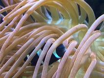 Black clown fish Royalty Free Stock Image