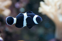 Black clownfish, anemonefish, Amphiprioninae Royalty Free Stock Photo