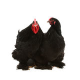 Black cochin rooster and hen Stock Image