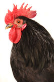 Black cock. On a white background Royalty Free Stock Image