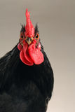 Black cock. On a grey background Stock Photos