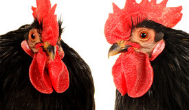 Black cock. On a white background Royalty Free Stock Photos
