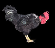Black cock on a black background. Photo taken by professional camera and lens Stock Photography