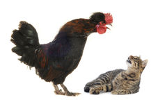 Black cock and cat. On a white background Royalty Free Stock Image