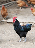 Black cock. Raise its guard on the farm Stock Image