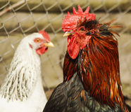 Black cock  standing on the ground next to a white chicken. Black cock with red crest and neck standing on the ground next to a white chicken Royalty Free Stock Photo