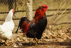 Black cock  standing on the ground next to a white chicken. Black cock with red crest and neck standing on the ground next to a white chicken Royalty Free Stock Photos