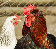 Black cock  standing on the ground next to a white chicken. Black cock with red crest and neck standing on the ground next to a white chicken Stock Photography