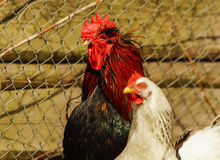 Black cock  standing on the ground next to a white chicken. Black cock with red crest and neck standing on the ground next to a white chicken Stock Photo