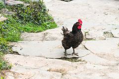 Black cock on street in Chengyang village. Travel to China - black cock on street in Chengyang village of Sanjiang Dong Autonomous County in spring season Stock Photo