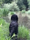 Black Cockapoo Playing in the Mud Stock Image