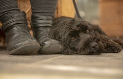 Black Cockapoo resting by owners feet royalty free stock photos