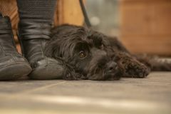 Black Cockapoo resting by owners feet stock photos