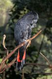Black cockatoo on on branch eating. This black cockatoo in Australia perches with one foot on a branch while he eats out of the other Royalty Free Stock Images