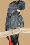 Black Cockatoo Stock Photos