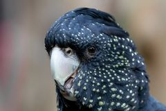 Black cockatoo headshot royalty free stock photography