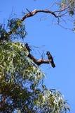 Black cockatoos Stock Photo