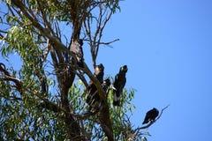 Black cockatoos Stock Photos