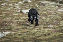 Black cocker dog walking down mountain Stock Photos