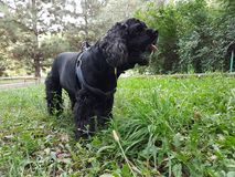 Black Cocker Spaniel. Black cocker spaniel on green grass in summer park stock photography