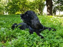 Black Cocker Spaniel. The black Cocker Spaniel is resting on the green grass in the park royalty free stock photography