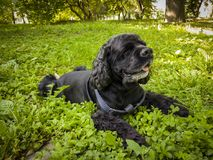 Black Cocker Spaniel. The black Cocker Spaniel is resting on the green grass in the park royalty free stock images