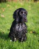 Black Cocker Spaniel Royalty Free Stock Images