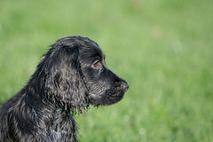 Black Cocker Spaniel stock photography