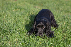 Black Cocker Spaniel Royalty Free Stock Photography