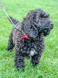 Black cockerpoo puppy standing in grass stock photos