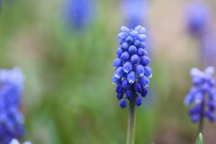 Blue flowers in Spring stock photos