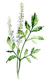 Black Cohosh. Illustration in watercolor.  A Popular Woman's Herb Royalty Free Stock Photo