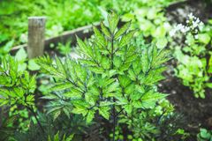 Black cohosh Cimicifuga in the garden stock images