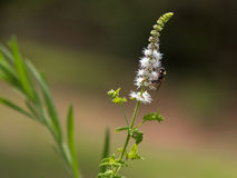 Black Cohosh: White Efflorescence and Bee Stock Photos