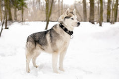 Black collar on huski and snow weather. Cute huski with collar is standing against of white snow with trees Stock Images
