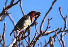 Black Collard Barbet Royalty Free Stock Image