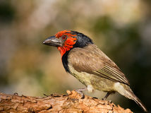 Black Collared Barbet. Side profile Royalty Free Stock Image